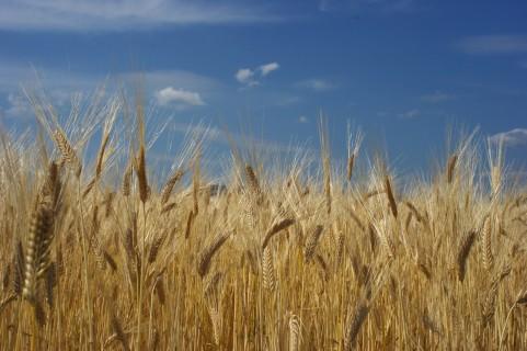 wheat_000385